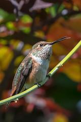 Rufous Hummingbird (RussellK2013) Tags: wild bird nature garden nikon hummingbird bokeh britishcolumbia wildlife ngc surrey 300mm nikkor humming wisteria teleconverter rufous selasphorusrufus tc14eiii 300mmf4epfedvr