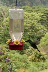 Kolibri in Panama
