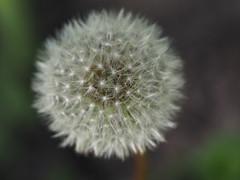 wiosna Frhling spring in unsern Garten (arjuna_zbycho) Tags: spring frhling wiosna badenbeiwien dmuchawiec lwenzan