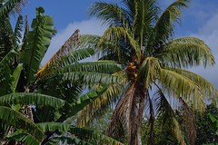 Fronds (ACEZandEIGHTZ) Tags: trees plants nikon palm fronds southmiami d3200 fruitandspicepark