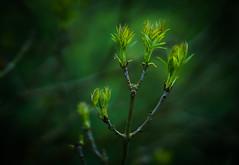 Tree (i.begala) Tags: plant tree green 50mm branch growing f095 mitakon