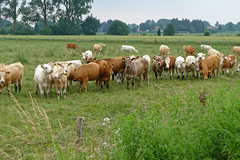 Herdentrieb - 2016 - 0006_Web (berni.radke) Tags: cows bovine khe rinder herde herdinstinct herdentrieb