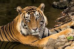 TIG00966GB_1 (giles.breton) Tags: india tiger tigers endangered ranthambhore panthera threatened andyrouse ranthambhorenationalpark pantheratigristigris royalbengaltiger dickysingh