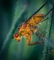 Orange is the new. black (Ingeborg Ruyken) Tags: 2016 2016lente 500pxs empel empelsedijk dropbox flickr fly gras grashalm grass green groen insect lente macro may mei morning natuurfotografie ochtend spring strontvlieg vlieg waterdrop waterdruppel yellowdungfly