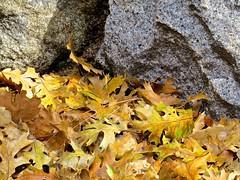 Remembering Fall (morroelsie) Tags: leaves yosemite yosemitevalley hikinginyosemite morroelsie