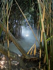SPLINSON's Pixelwurst (spline_splinson) Tags: brissago lagomaggiore switzerland bamboo bambus fog isolabrissago swiss roncosopraascona ticino schweiz ch