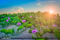 Flowers on  the Beach Railroad Vine (Captain Kimo) Tags: florida singerisland beachmorningglory beachsunrise fflowers hdrphotography railroadvine hdrsoftware captainkimo aurorahdr