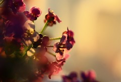 Just let me dream... (dawn.tranter) Tags: flowers macro closeup bokeh pastel dream dreamy canonmacro letme dawntranter 7dayswithflickr