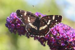 Araschnia levana (Linnaeus, 1758) - summer form (Marcell Krpti) Tags: butterfly hungary map lepidoptera nymphalidae araschnialevana nymphalinae pszt pkhlslepke