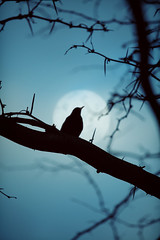 The bird and the moon. (www.juliadavilalampe.com) Tags: vienna blue shadow sky moon black tree bird austria sterreich branch pjaro mirlo