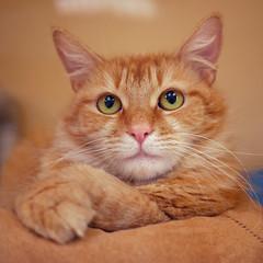 Meowmalade (AbbyB.) Tags: pet animal cat newjersey feline shelter shelterpet petphotography easthanovernj mtpleasantanimalshelter