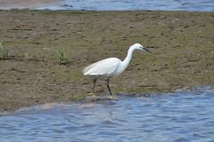 Little Egret (jono85) Tags: bird nikon little devon egret ardeidae wader egretta garzetta d3100