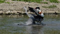 Shelduck attacking grey heron (ftm599) Tags: wild lake bird nature birds flying duck nikon action wildlife bif greyheron shelduck birdaction washingtonwetlands