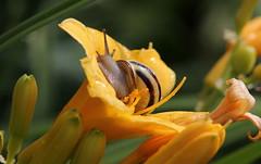 Magicamente (lincerosso) Tags: primavera rain drops fiori pioggia bellezza hemerocallis floers chiocciola gocce acque armonia cepaeanemoralis