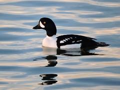 Barrow's Goldeneye (hoppedscott) Tags: duck bc birding goldeneye barrowsgoldeneye