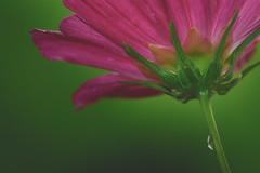 underside (laughlinc) Tags: 2016 nikkor105mmmicro cosmos flowers green laughlinc lightroom macro nature nikond7200 pink waterdroplet outdoor depth field flower plant petal depthoffield nikon