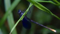 DSCF7640 (faki_) Tags: insect fuji dragonfly fujifilm 24 60 rovar xe1 szitakt fujinonxf60mmf24rmacro