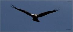 IMG_0803-cropGOLDea (ryancarter2012) Tags: golden eagle gorge juvenile menorca cala galdana algendar