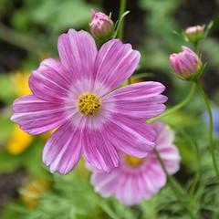Flower in bloom (stevelamb007) Tags: flower nature garden illinois nikon dof bloom glencoe chicagobotanicgarden nikkor18200mm stevelamb flickriver d7200