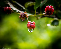 Rasberry Raindrop (that_damn_duck) Tags: nature waterdrop unitedstates southcarolina raindrop