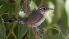 Bewick's Wren | Owl Prowl | Portal | AZ | 2016-06-08at07-28-334 (HarmonyonPlanetEarth) Tags: nature birds slideshow
