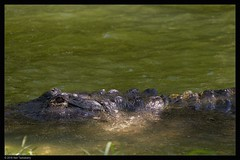 alligator (Neil Tackaberry) Tags: usa water animal gardens tampa florida alligator buschgardens busch