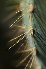 Les cactus 2 (Christelle Diawara) Tags: canon600d 60mm macro cactus piquants ombre texture shadow macromondays flickrphotowalk macrotexturetheme