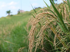 Rice Paddy (stardex) Tags: rice paddy paddyfield jatiluwih bali indonesia