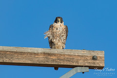 July 9, 2016 - A Peregrine Falcon in Adams County. (Tony's Takes)