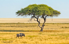 Lonely Wildebeest (MyKeyC) Tags: africa tree scenic lonely namibia etosha wildebeest camelthorn vincentgrafhorst
