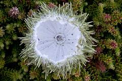 Unlucky Urchin (Edmonton Ken) Tags: seaurchinshell spines green radial symmetry echinoderm five