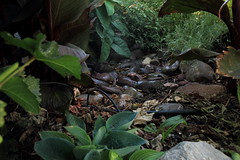 Garden (em_burk) Tags: green canon arizona garden outside lush plants tropical moist foliage rocks riverrocks texture wet undergrowth hosta canna elephantear grapevine agastache groundorchid
