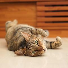 DSC09337S (lazybonessss) Tags: leica cat kitten nana summicronm50 sonya7 sonyilce7