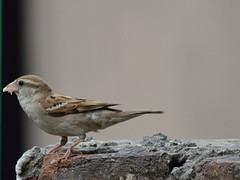 Confused looking common sparrow (hasham2) Tags: nikon sparrow common tamaron