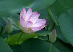 Inner Light (KsCattails) Tags: pink flower nature nikon lotus blossom outdoor kansas bud overlandparkarboretum d7000 kscattails