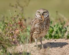 Burrowing Owl (Melis J) Tags: bird florida owls burrowingowl birdwithprey