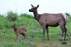 Elk Cow and Calf - 7037b (teagden) Tags: wild baby nature photography cow nikon wildlife elk calf naturephotography momandbaby cowelk wildlifephotography jenniferhall jenhall jenhallphotography jenhallwildlifephotography