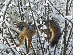 Fox Up a Tree EXPLORED July 4, 2016 (MyRidgebacks - Sharon C Johnson) Tags: fox upatree coth specanimal glacierviewranch naturethroughthelens johnsonphotography sunrays5