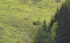 DSC_4469 (d90-fan) Tags: horse plant animal outdoors austria sterreich nationalpark natur deer hirsch nationalparc rauris hohetauern httwinkltal hirschkuh