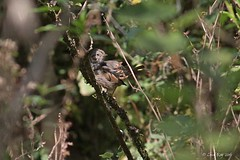 1.29687 Bruant de Lincoln / Melospiza lincolnii alticola / Lincoln's Sparrow / Chingolo de Lincoln (Laval Roy) Tags: birds aves oaxaca mexique oiseaux passeriformes lincolnssparrow bruantdelincoln eos7d embérizidés ef300mm14lisextender14xiii lavalroy chingolodelincoln melospizalincolniialticola