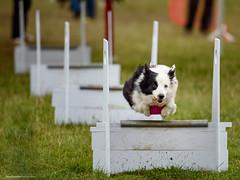 DSC_4054 (TDG-77) Tags: dog pet dogs animal nikon running d750 nikkor f28 flyball chasing 70200mm unleashed vrii