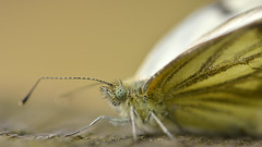 Broken (nyanc) Tags: travel wild summer portrait white color macro eye broken nature netherlands yellow butterfly insect outside prime wings nikon colorful europa europe flickr outdoor wildlife nederland natuur sigma zomer animalia limburg vlinder greenveinedwhite 2016 insecta vleugels witje d5200 earthnaturelife