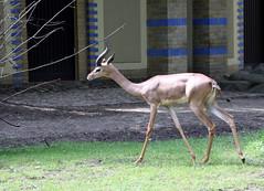 09-IMG_2167 (hemingwayfoto) Tags: berlin gazelle giraffengazelle horntrager lebewesen litocraniuswalleri sugetier sdlich schlank tier wiederkuer zoo