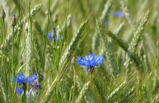 Who does not love cornflowers.....