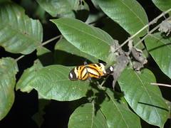 DSC04658 (familiapratta) Tags: nature insect iso100 sony natureza insects inseto insetos hx100v dschx100v
