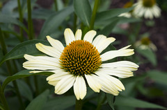 Echinacea (s.d.sea) Tags: flowers summer plants white plant chicago flower green nature floral yellow gardens 35mm garden botanical outdoors illinois spring midwest pentax echinacea northshore glencoe botanic coneflower enjoyillinois k5iis