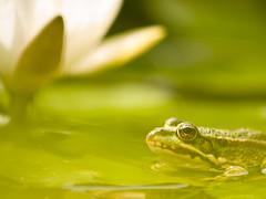 green Frog, grner Frosch (Klaus Lechten) Tags: sun flower green nature water animal germany licht pond wasser lily sommer natur olympus frog teich sonne frosch lurch tier farben seerose amphibie tmpel teichrose olympuse3 lechten pentaxk5ii zukio50200