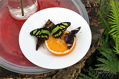 Butterfly breakfast for two (what rough beast) Tags: butterfly bluemoon malachite hypolimnasbolina siproetastelens