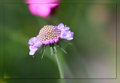 Meine Wildblumenwiese (Volker Bandke) Tags: asteriden euasteridenii geisblattgewächse kardenartige kardengewächse makro scabiosacolumbaris skabiosen taubenskabiose lichtografien