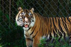 Tiger (Vincent1825) Tags: pentax louisvillezoo 200mm